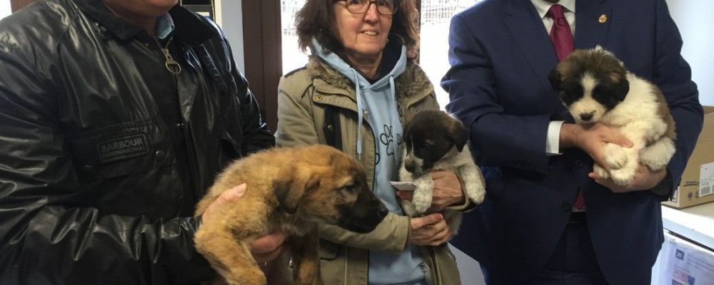 La Diputación de Ávila adoptará los mastines encontrados por la Asociación Protectora de Animales 'Huellas'