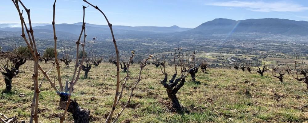 Abierta la convocatoria de subvenciones para inscribir viñedos en la DOP Cebreros