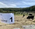Foto de La subasta de ganado de Raza Avileña negra-Ibérica de 'El Colmenar' alcanza los 43.200 euros