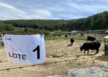 La subasta de ganado de Raza Avileña negra-Ibérica de 'El Colmenar' alcanza los 43.200 euros