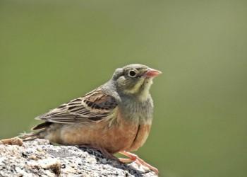 La VII edición de 'Conoce las aves de Ávila' se cierra con el avistamiento de cerca de cien especies (2º Fotografía)